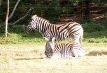 Zebras like Rhino Poo!