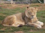 Lazy Lion...